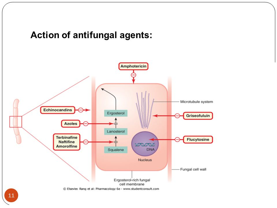 Action of antifungal agents: