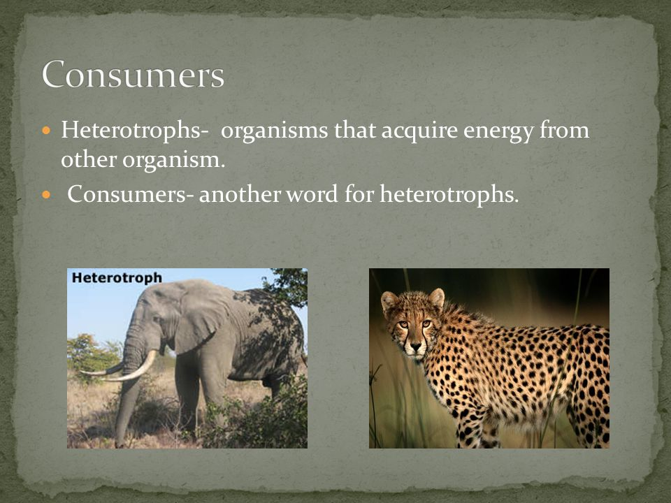 Consumers Heterotrophs- organisms that acquire energy from other organism.