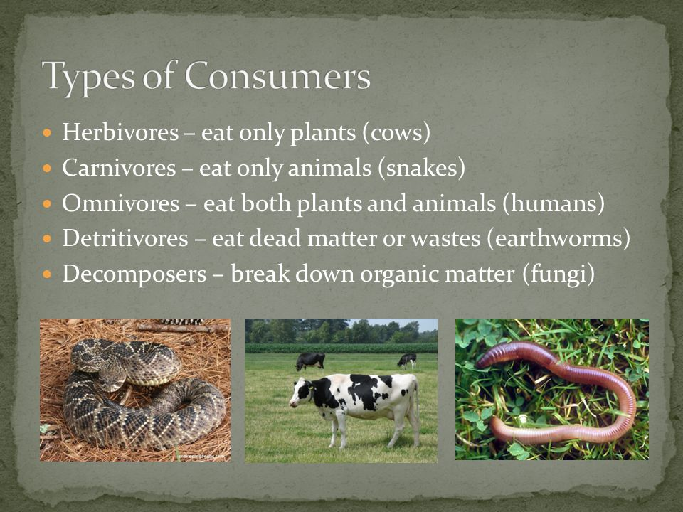 Types of Consumers Herbivores – eat only plants (cows)