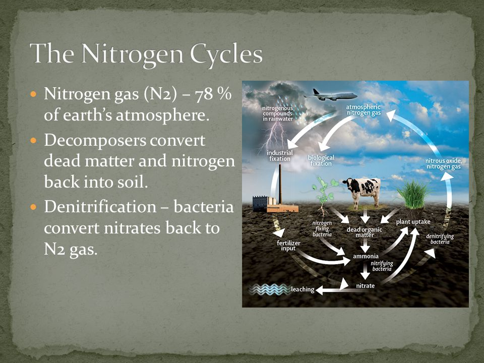 The Nitrogen Cycles Nitrogen gas (N2) – 78 % of earth's atmosphere.