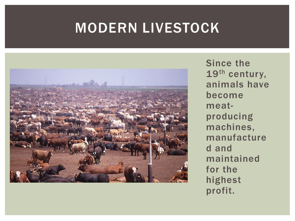 Modern Livestock Since the 19th century, animals have become meat-producing machines, manufactured and maintained for the highest profit.