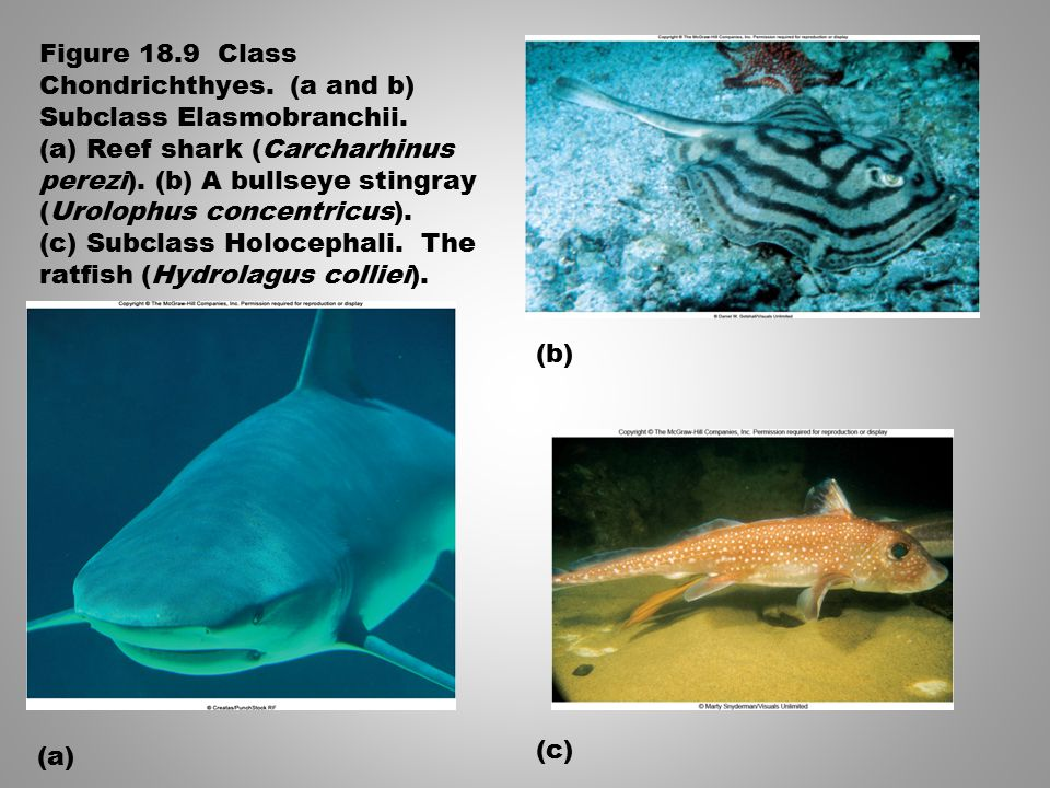 Figure 18.9 Class Chondrichthyes. (a and b) Subclass Elasmobranchii.