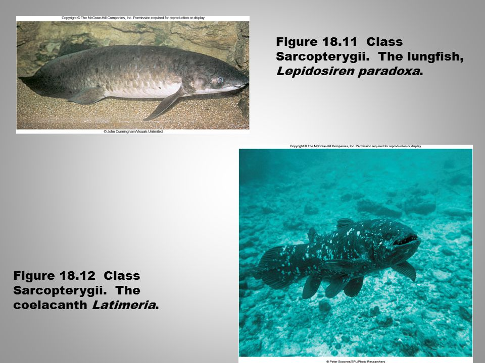 Figure 18.11 Class Sarcopterygii. The lungfish, Lepidosiren paradoxa.