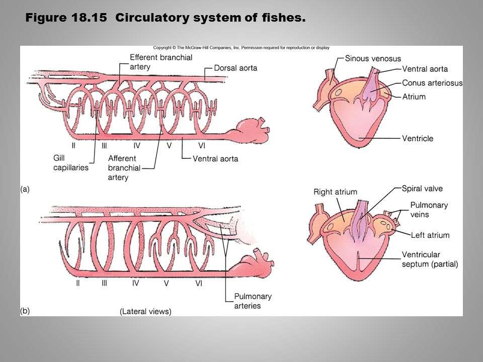 Figure 18.15 Circulatory system of fishes.