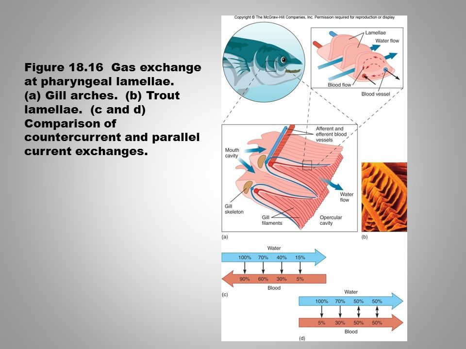 Figure 18.16 Gas exchange at pharyngeal lamellae.