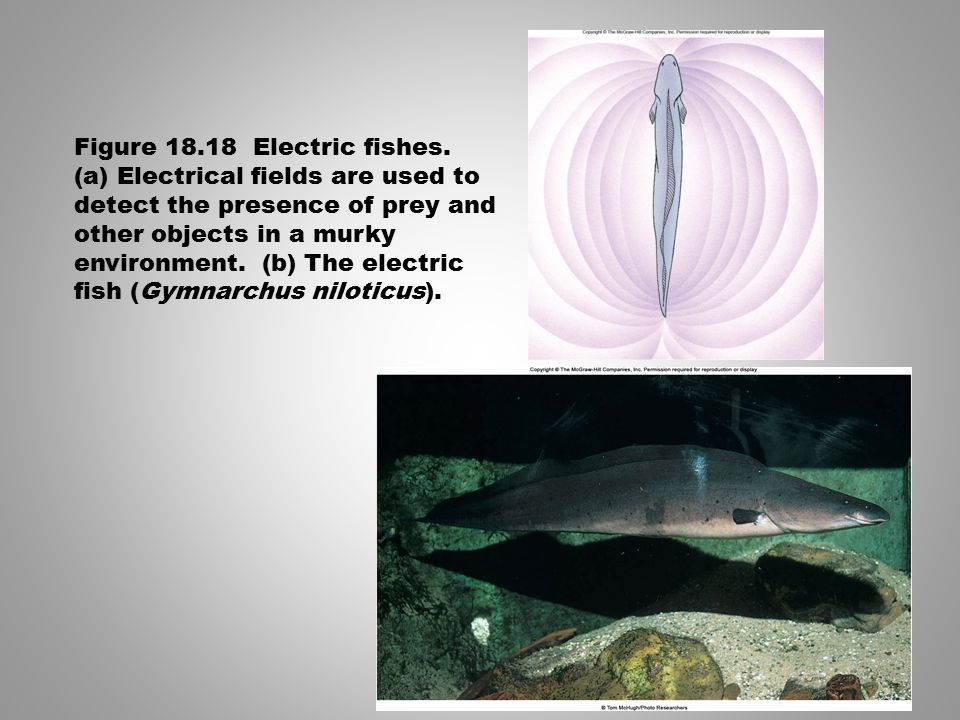 Figure 18.18 Electric fishes.