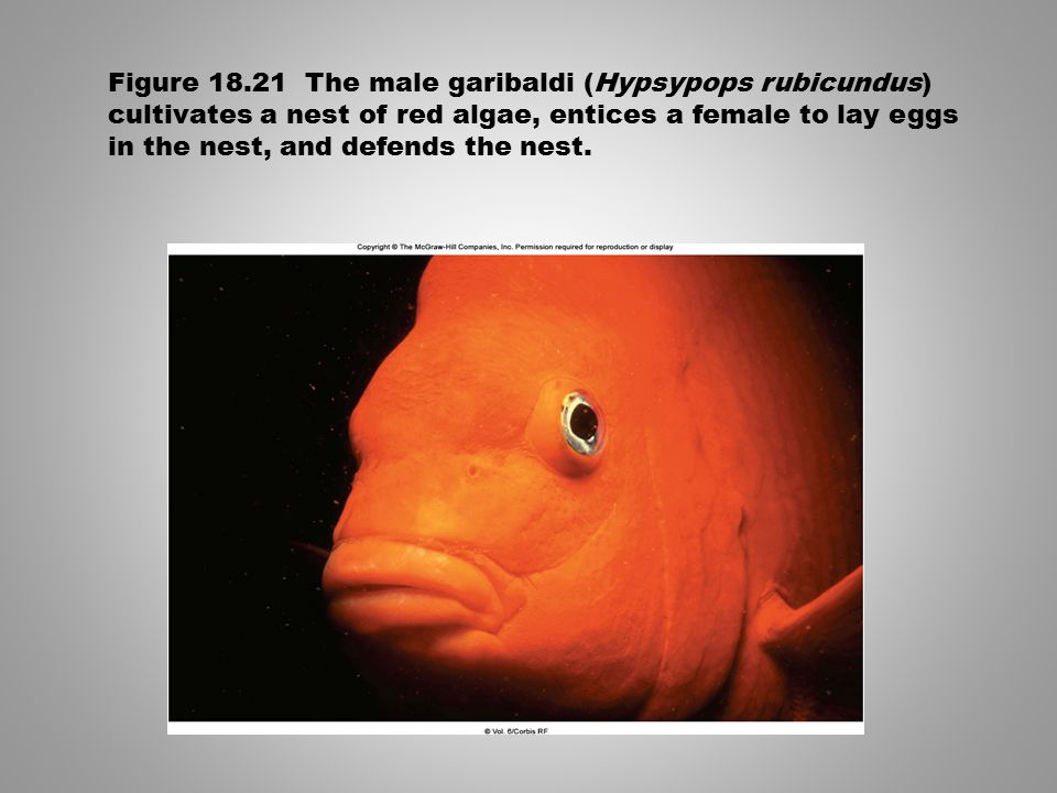 Figure 18.21 The male garibaldi (Hypsypops rubicundus) cultivates a nest of red algae, entices a female to lay eggs in the nest, and defends the nest.