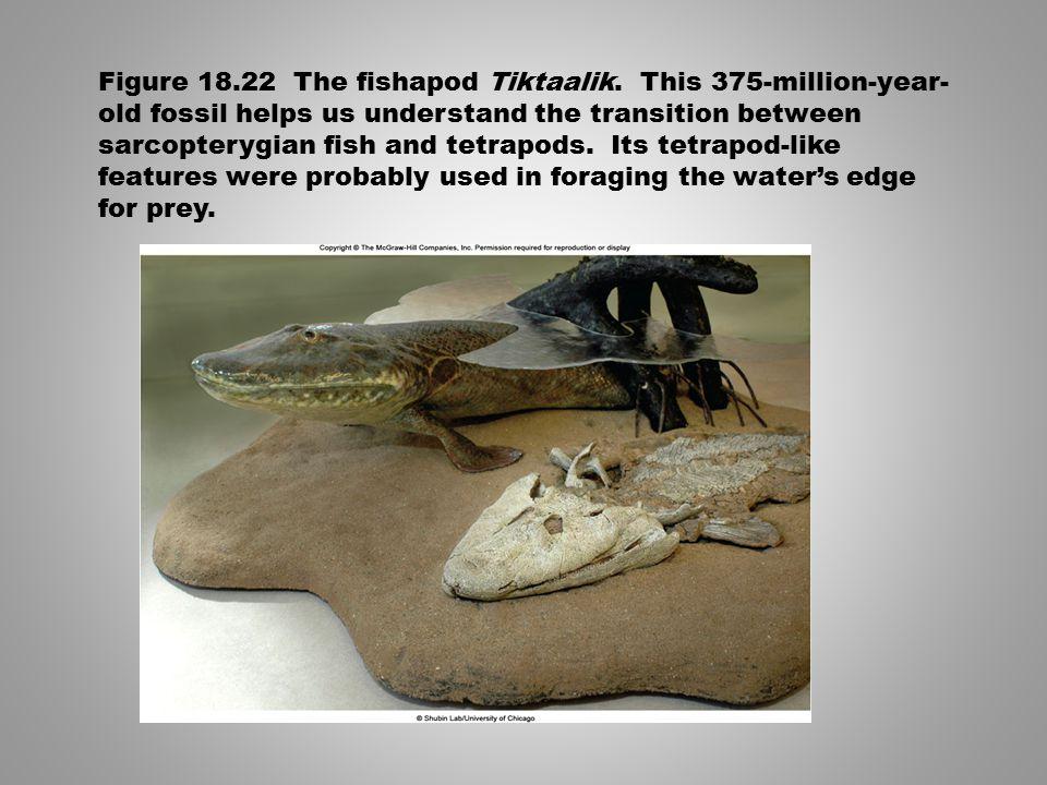 Figure 18. 22 The fishapod Tiktaalik