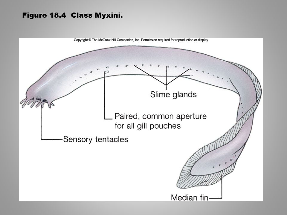 Figure 18.4 Class Myxini.