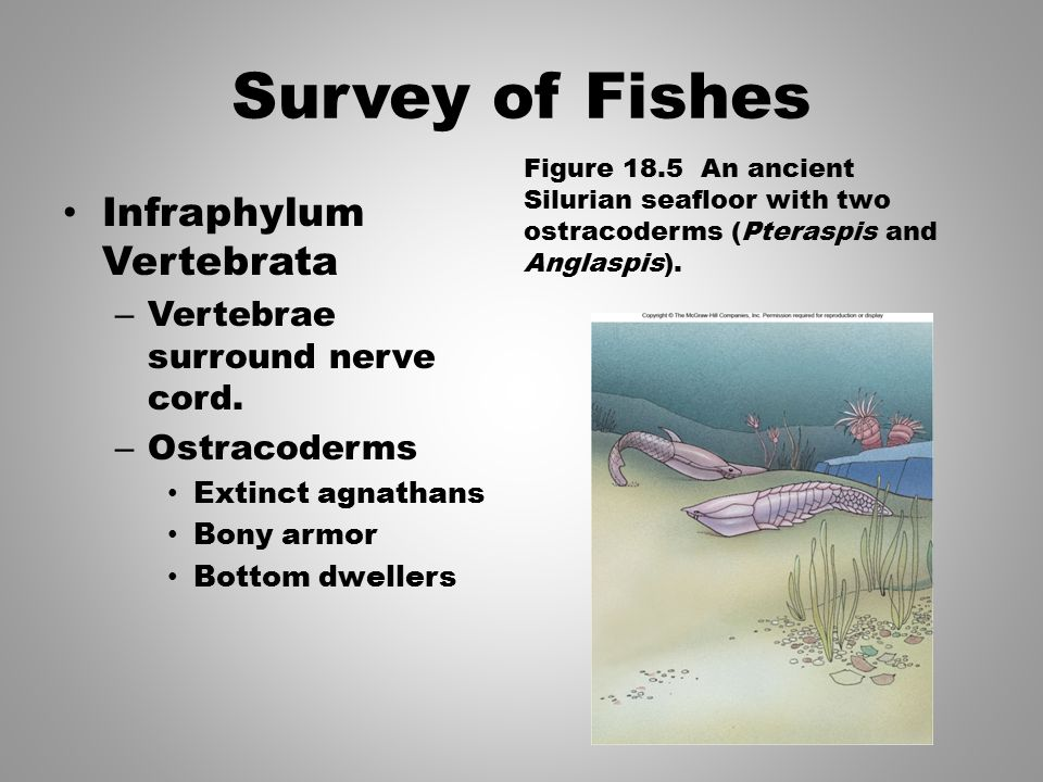 Survey of Fishes Infraphylum Vertebrata Vertebrae surround nerve cord.