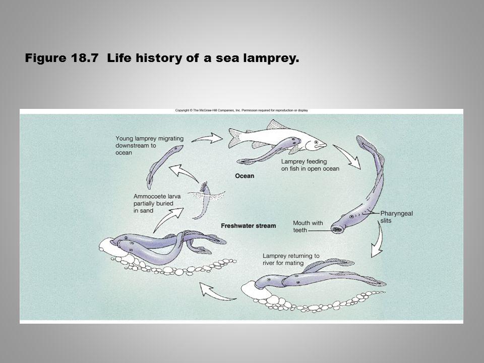 Figure 18.7 Life history of a sea lamprey.