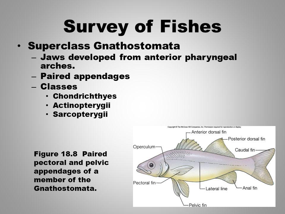 Survey of Fishes Superclass Gnathostomata