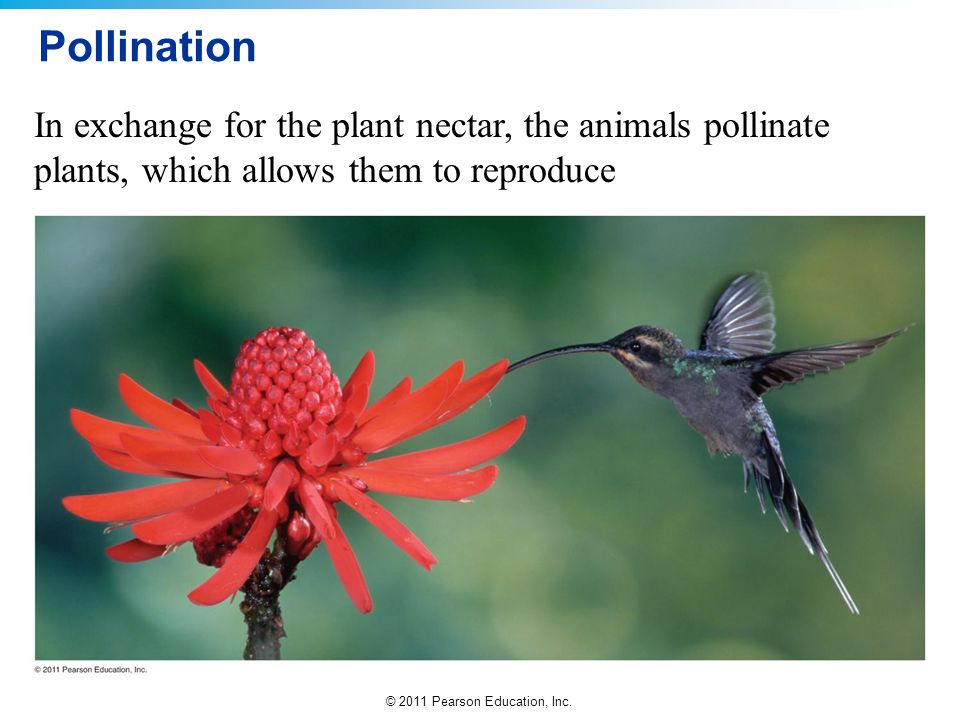 Pollination In exchange for the plant nectar, the animals pollinate plants, which allows them to reproduce.