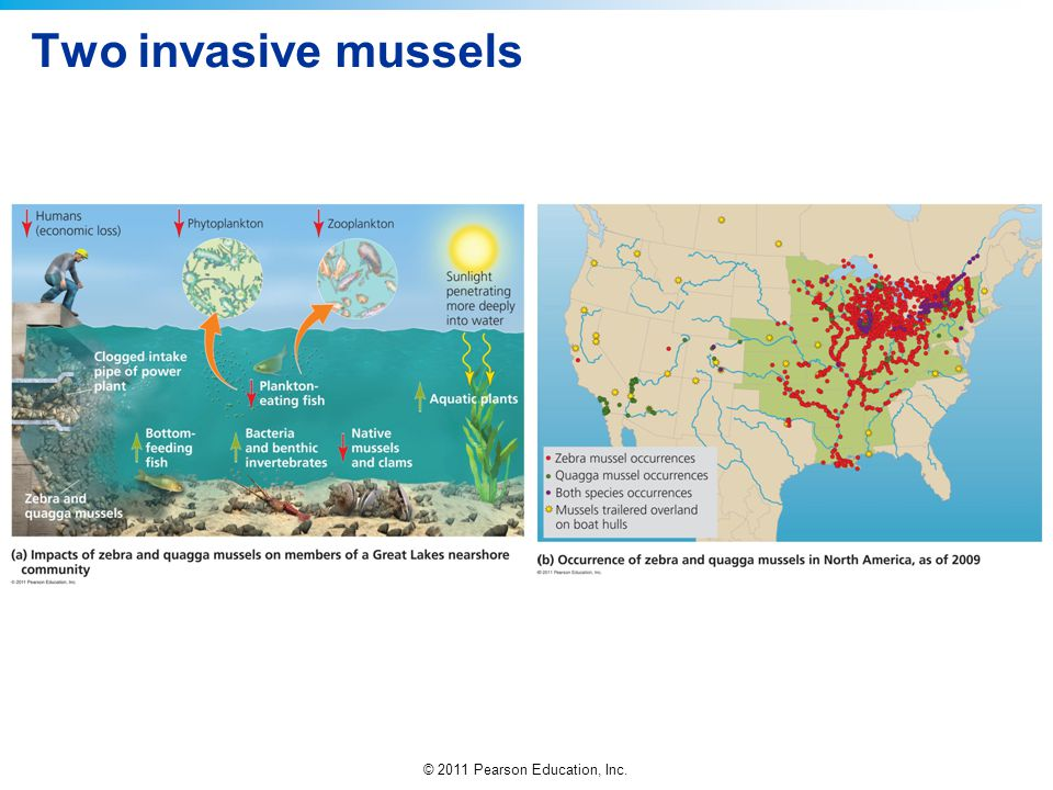 Two invasive mussels