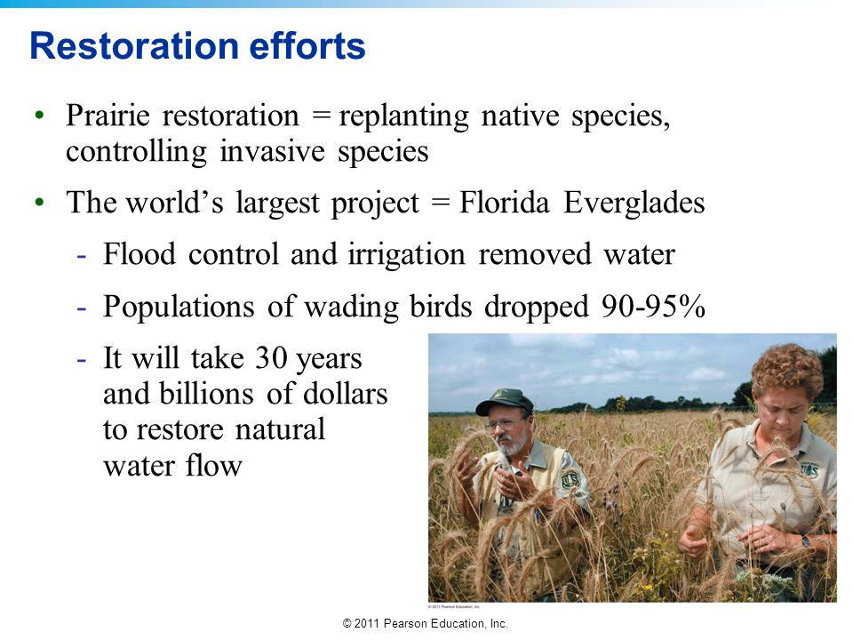 Restoration efforts Prairie restoration = replanting native species, controlling invasive species. The world's largest project = Florida Everglades.