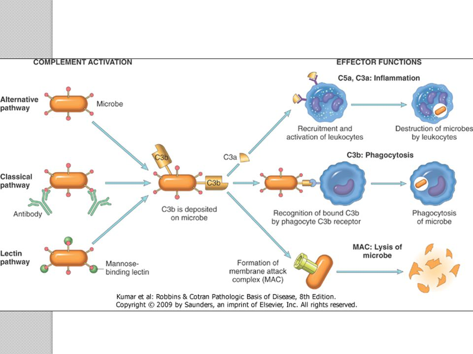 Figure 2-14 The activation and functions of the complement system