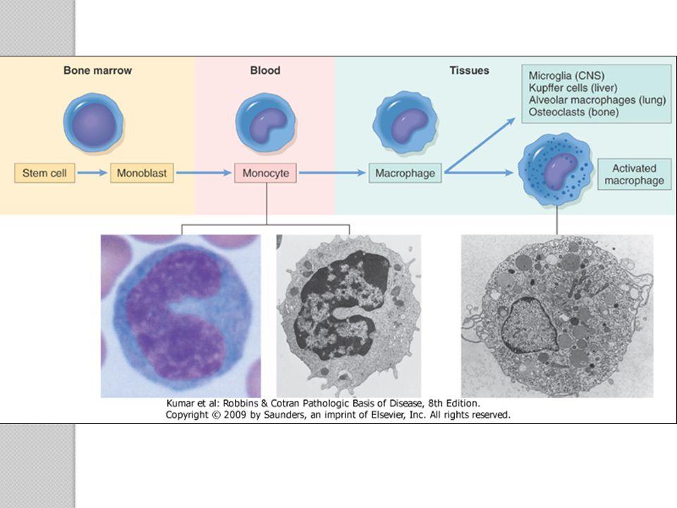 Figure 2-23 Maturation of mononuclear phagocytes