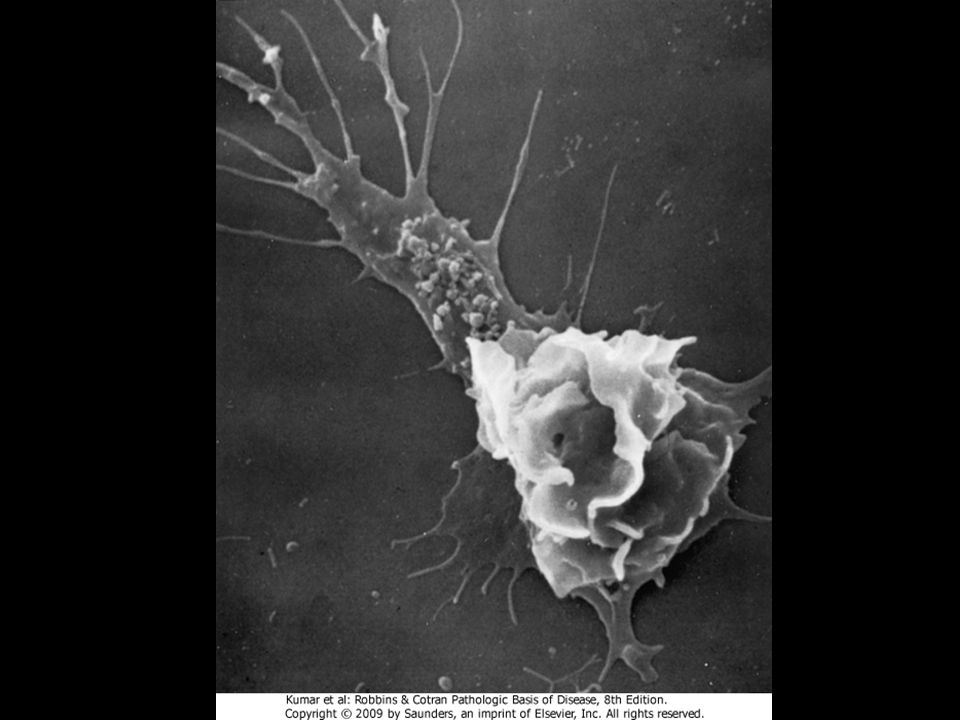 Figure 2-6 Scanning electron micrograph of a moving leukocyte in culture showing a filopodium (upper left) and a trailing tail.