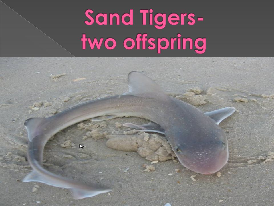 Sand Tigers- two offspring
