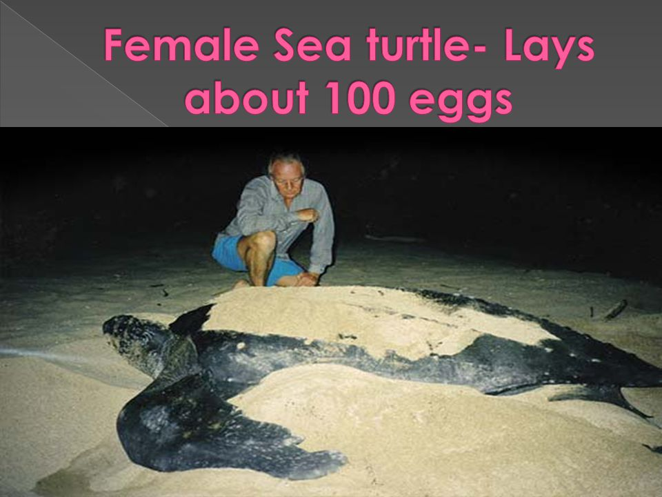 Female Sea turtle- Lays about 100 eggs
