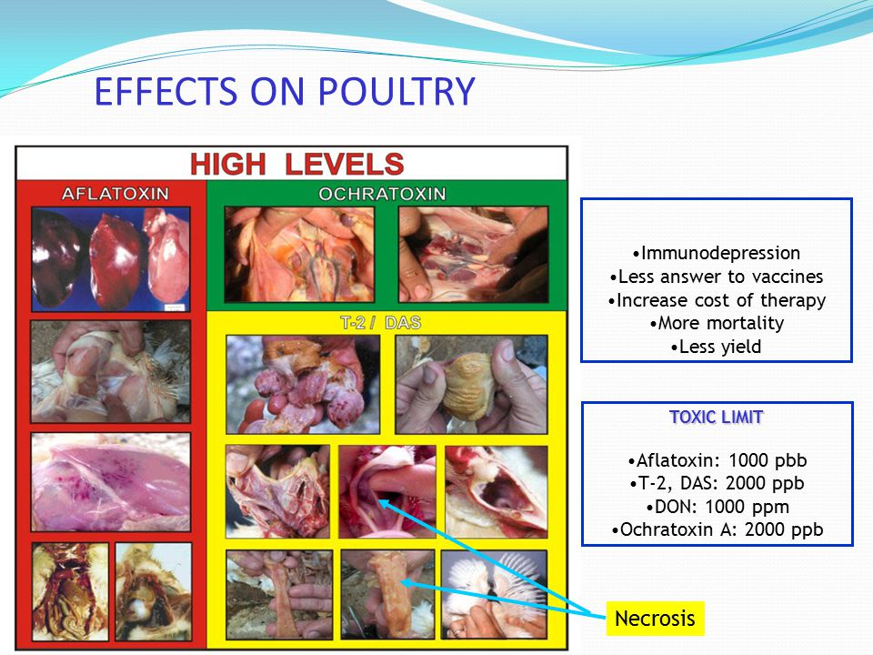 EFFECTS ON POULTRY Necrosis Immunodepression Less answer to vaccines