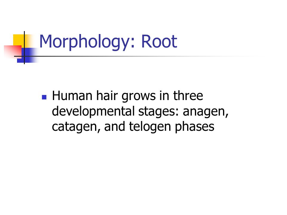 Morphology: Root Human hair grows in three developmental stages: anagen, catagen, and telogen phases.