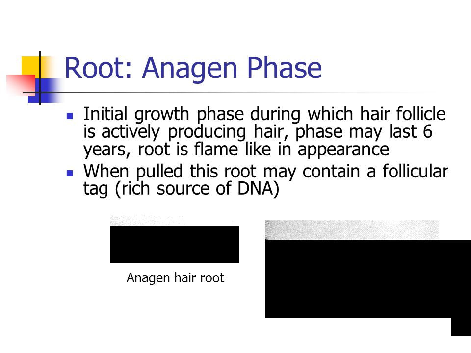 Root: Anagen Phase
