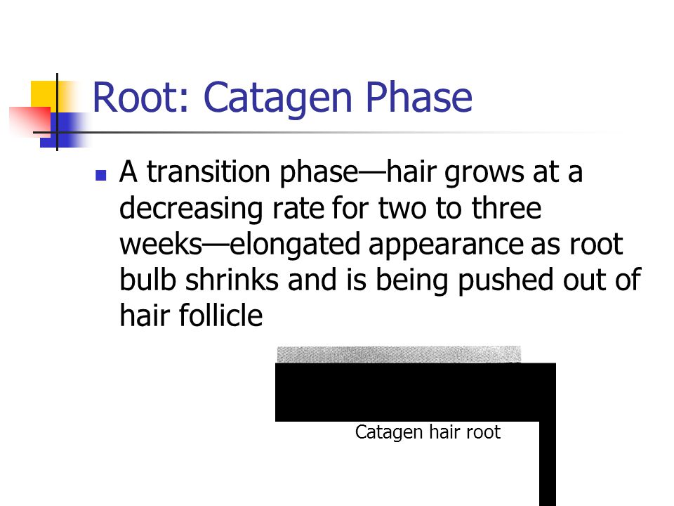 Root: Catagen Phase