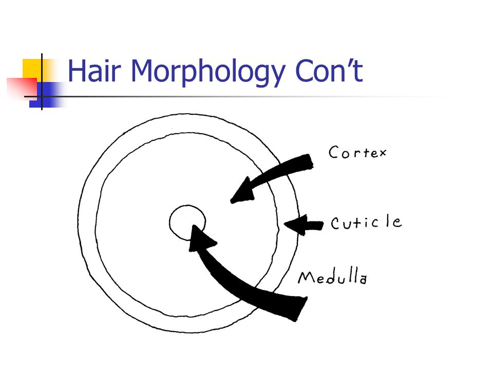 Hair Morphology Con't