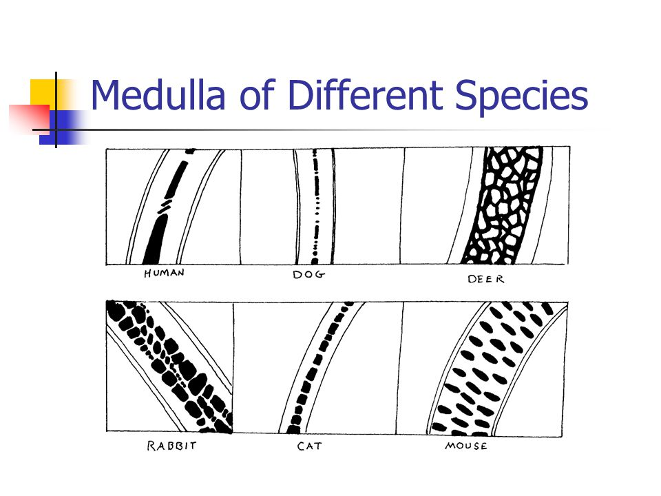 Medulla of Different Species