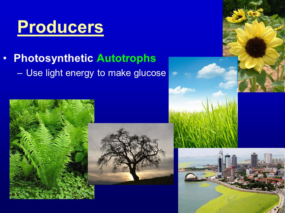 Producers Photosynthetic Autotrophs Use light energy to make glucose