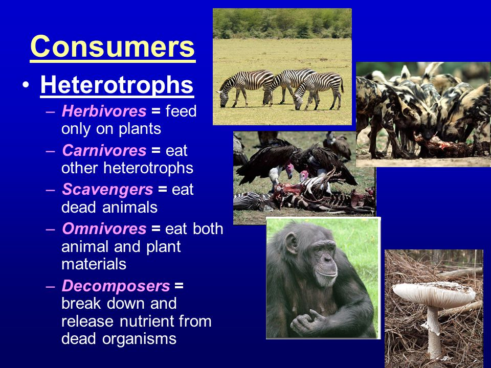 Consumers Heterotrophs Herbivores = feed only on plants
