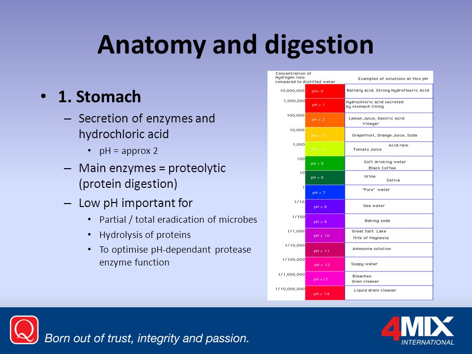 Anatomy and digestion 1. Stomach