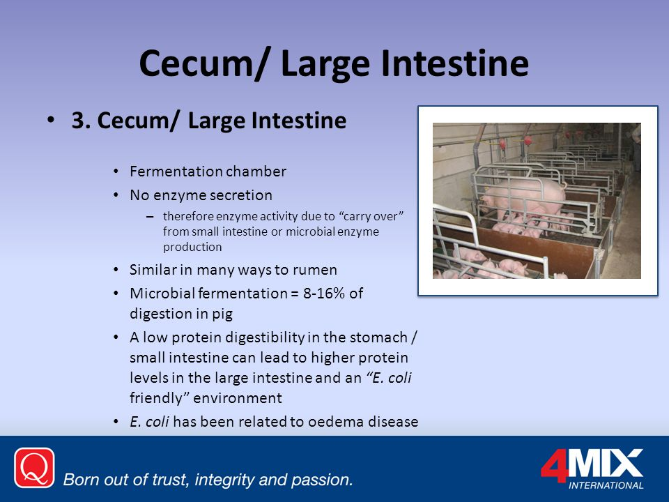 Cecum/ Large Intestine