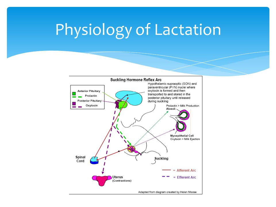 Physiology of Lactation