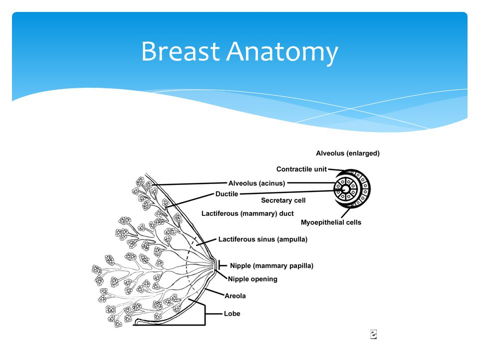 Breast Anatomy Breast includes mammary tissue, nipple and areola, supporting connective tissue and fat, blood and lymphatic vessels, and nerves.