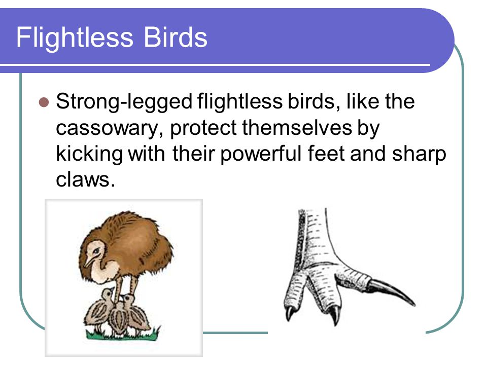 Flightless Birds Strong-legged flightless birds, like the cassowary, protect themselves by kicking with their powerful feet and sharp claws.