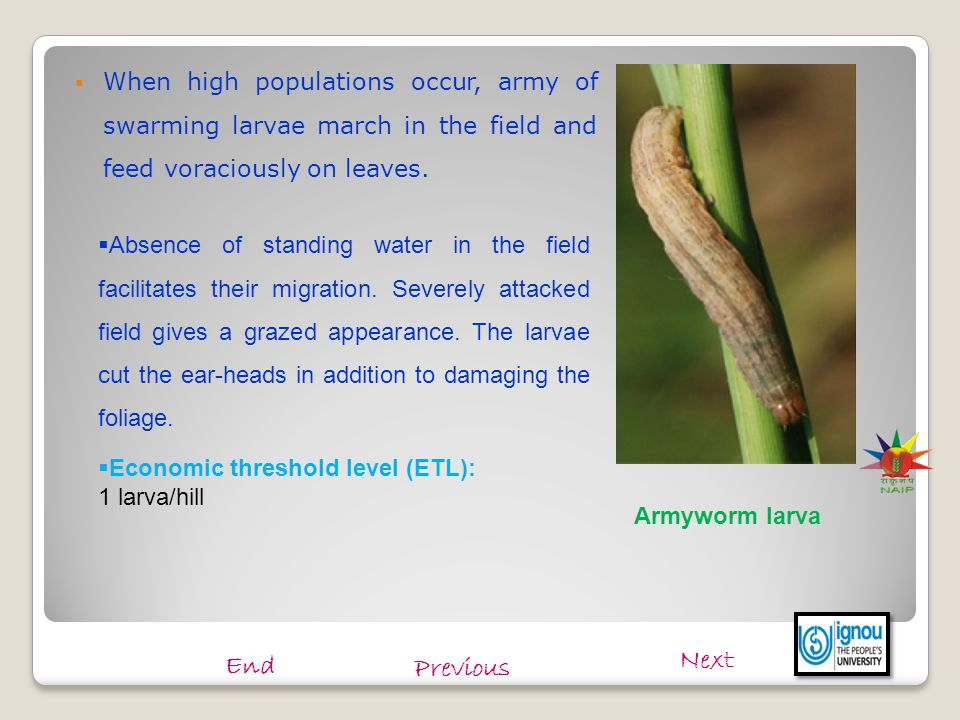 When high populations occur, army of swarming larvae march in the field and feed voraciously on leaves.