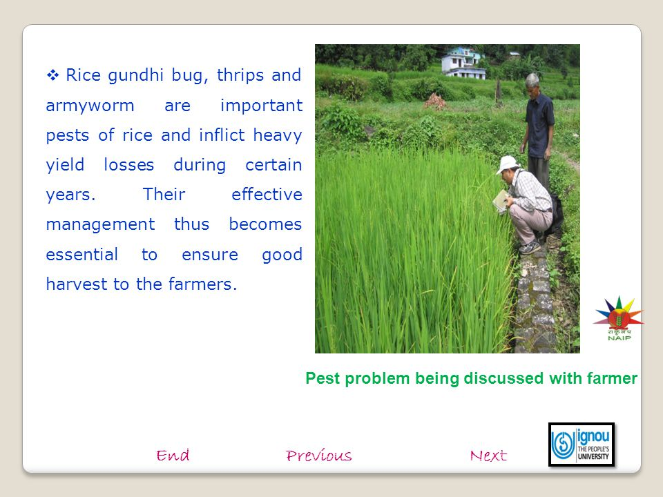 Rice gundhi bug, thrips and armyworm are important pests of rice and inflict heavy yield losses during certain years. Their effective management thus becomes essential to ensure good harvest to the farmers.