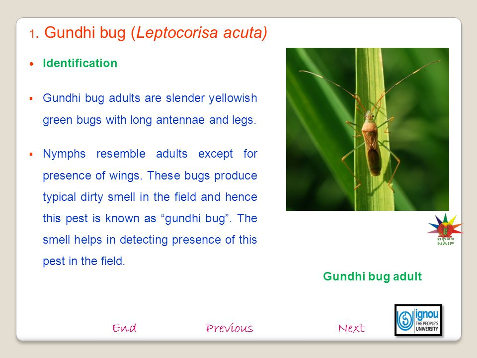 End Previous Next 1. Gundhi bug (Leptocorisa acuta) Identification
