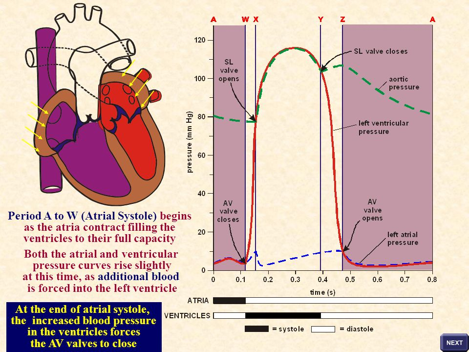 Period A to W (Atrial Systole) begins