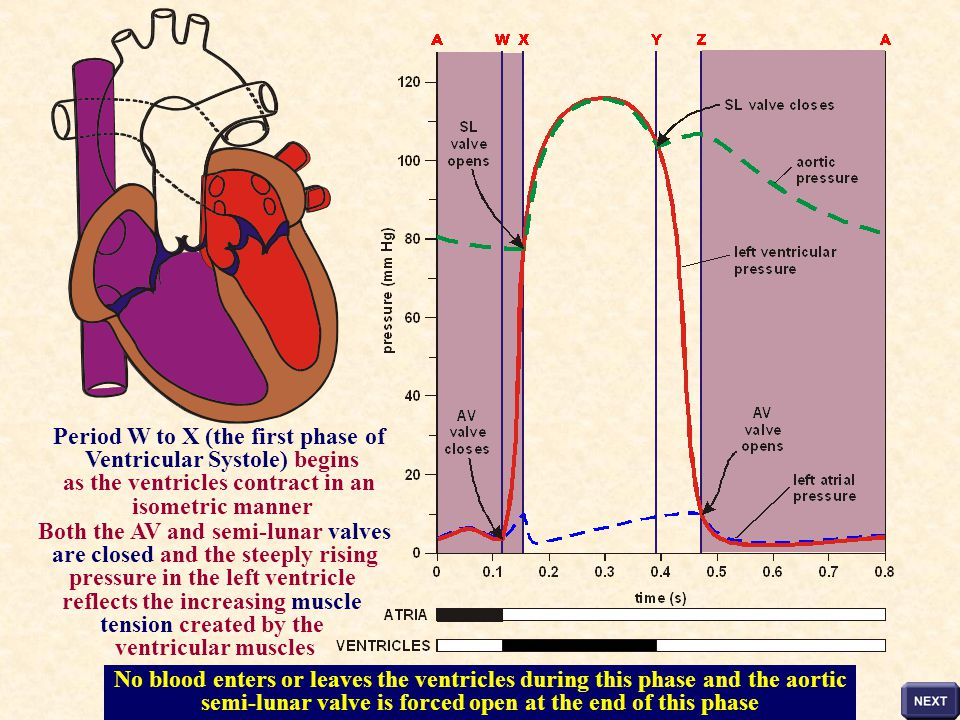 Period W to X (the first phase of Ventricular Systole) begins
