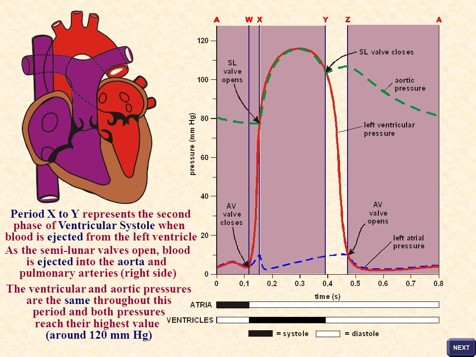 Period X to Y represents the second phase of Ventricular Systole when
