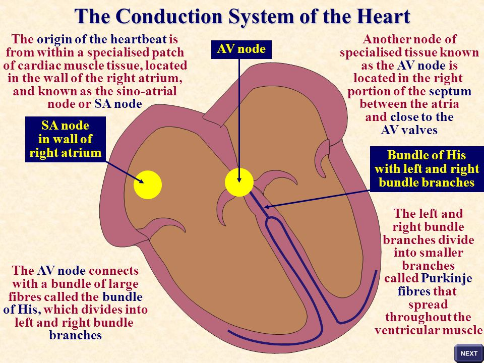 The Conduction System of the Heart