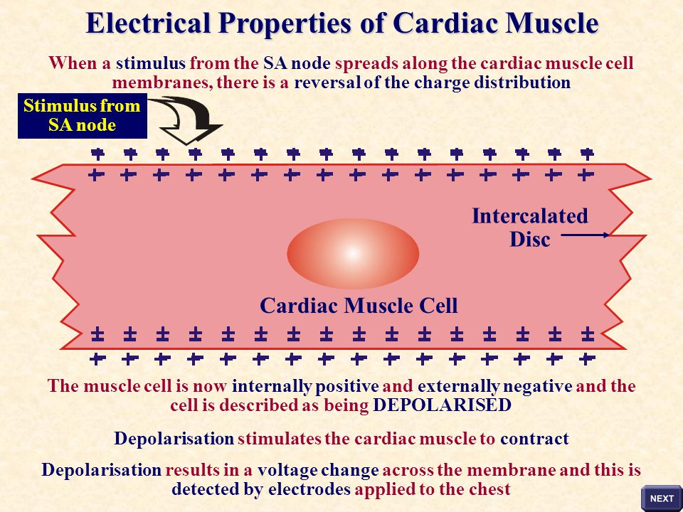 Electrical Properties of Cardiac Muscle