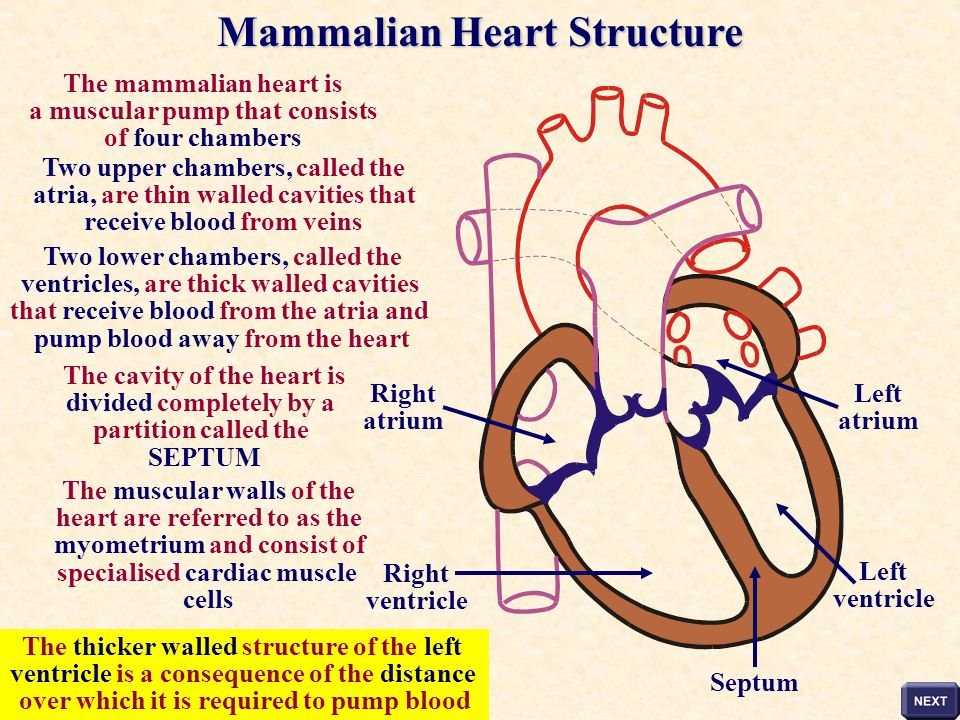 Mammalian Heart Structure