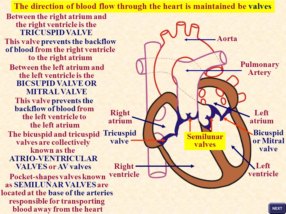 The direction of blood flow through the heart is maintained be valves