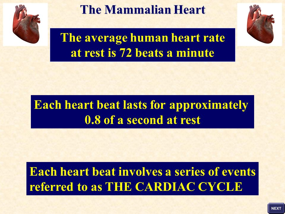 The average human heart rate at rest is 72 beats a minute