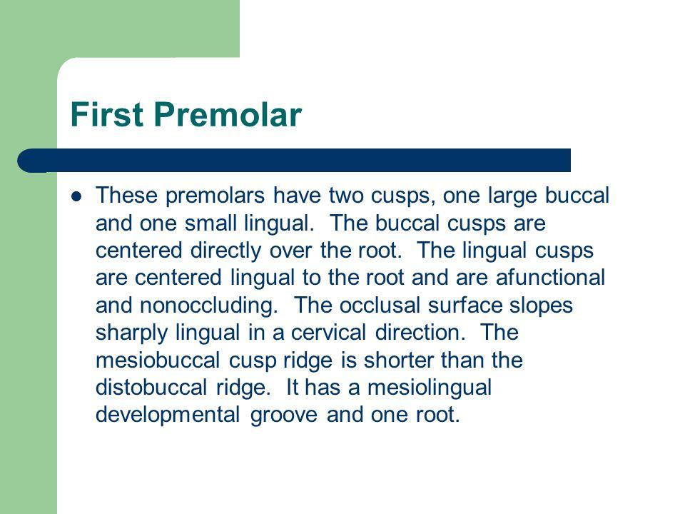 First Premolar