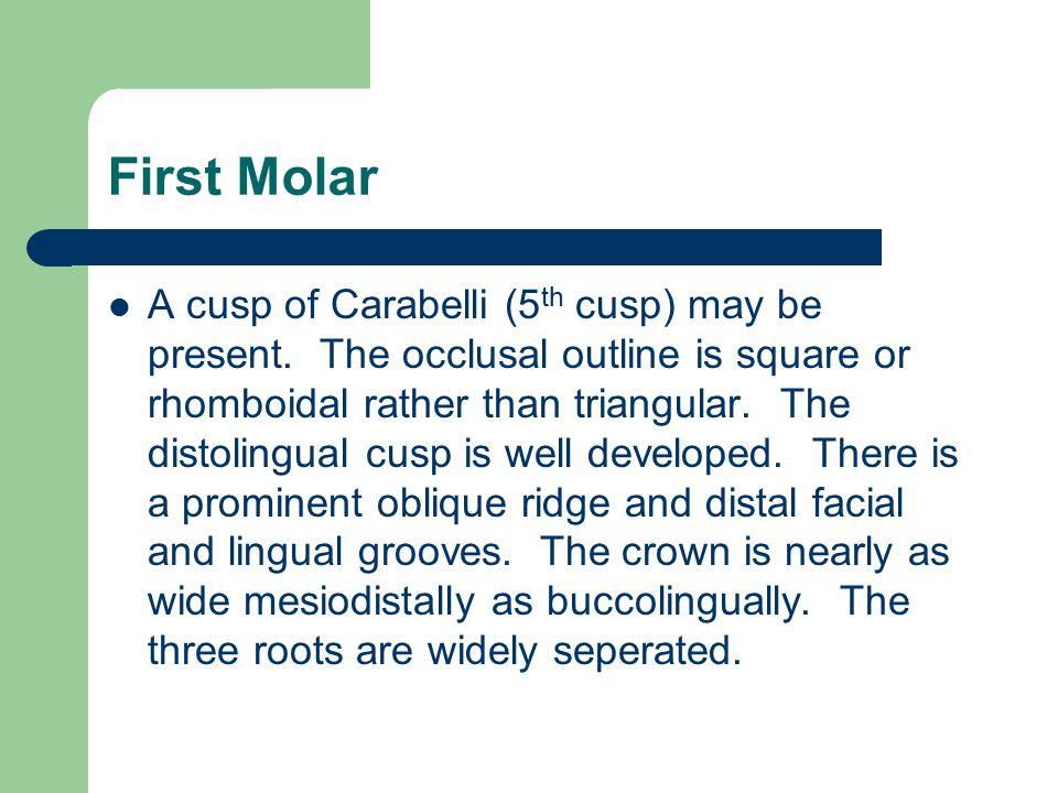 First Molar